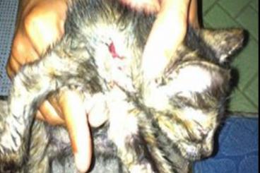 Tolong Selamatkan Kucing Jantan 3 Warna Ini
