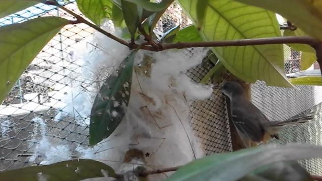 Lestarikan burung ciblek yang hampir musnah