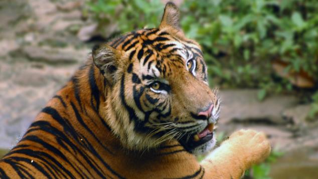 Double the Tigers: Donasi untuk Harimau Sumatera