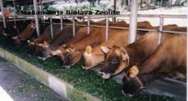 membangun wirausaha ternak sapi di lampung