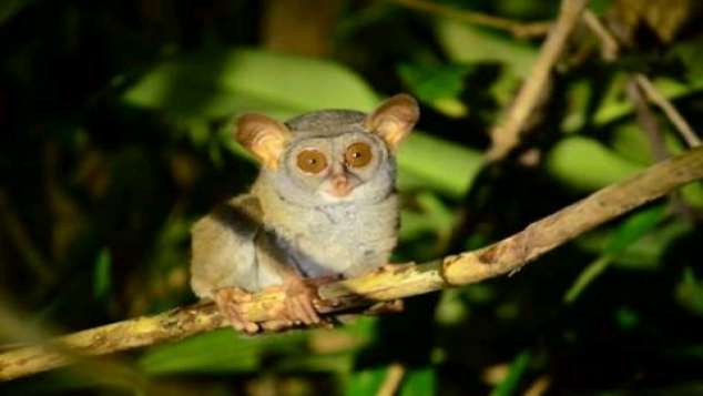 Tarsius Tumpara Expedition