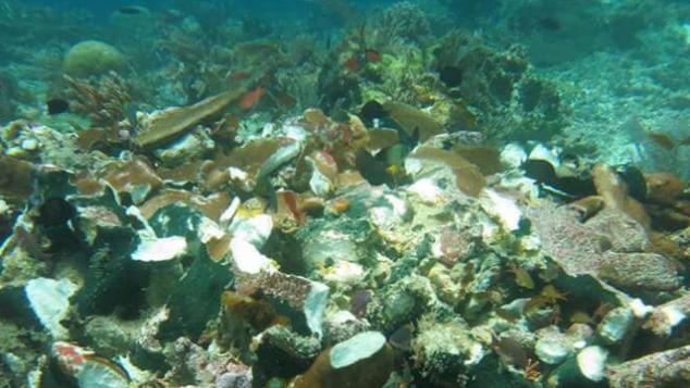 Transpalantasi Karang di Pulau Misool, Papua Barat