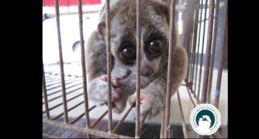 Tolong Kami..Kami Kukang Sumatra Butuh Alat Medis!