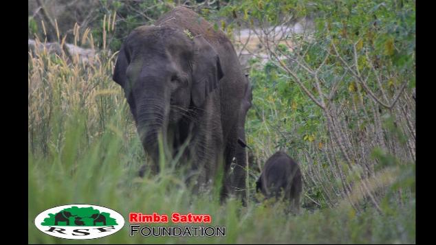 Masih ada Gajah di Balairaja, Riau - Indonesia