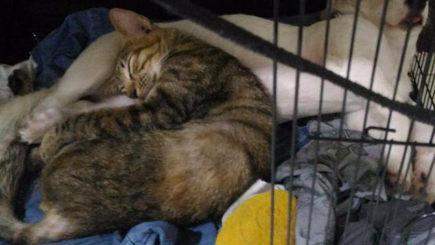 Bantu kucing terlindas (Hernia dan Patah Tulang)