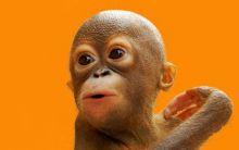 Centre for Orangutan Protection